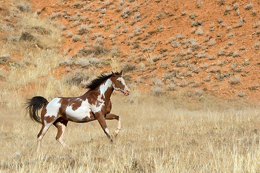 HOR 01 KH0037 01 © Kimball Stock Bay Paint Horse Cantering In Field
