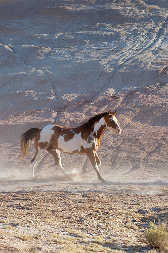 HOR 01 KH0038 01 © Kimball Stock Bay Paint Horse Trotting On Dirt By Hill