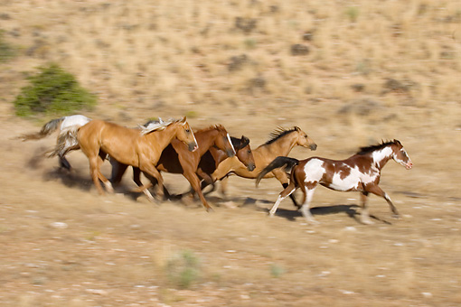 HOR 01 KH0039 01 © Kimball Stock Herd Of Horses Galloping On Dirt By Hill