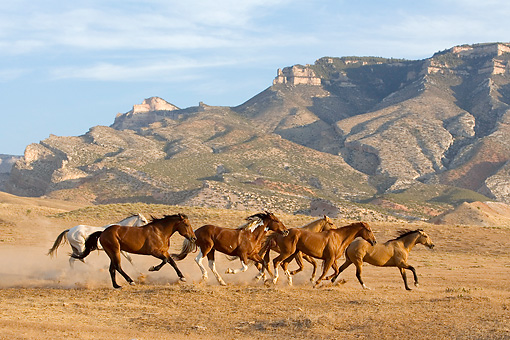HOR 01 KH0040 01 © Kimball Stock Herd Of Horses Galloping By Hills