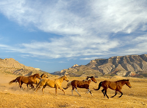 HOR 01 KH0041 01 © Kimball Stock Herd Of Horses Galloping By Hills