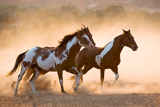 HOR 01 KH0044 01 © Kimball Stock Three Horses Galloping In Dry Field