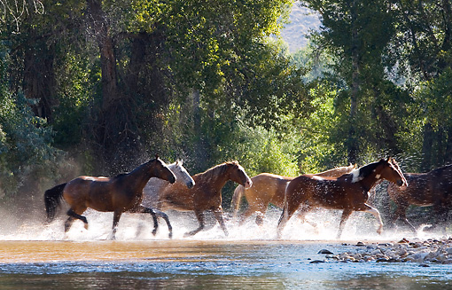 HOR 01 KH0049 01 © Kimball Stock Herd Of Horses Running Through Stream