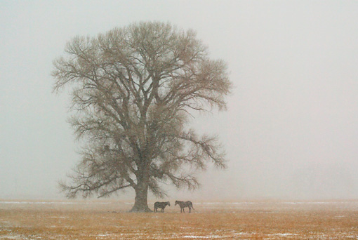 HOR 01 KH0051 01 © Kimball Stock Two Horses Standing By Tree In Snowstorm