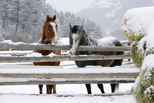 HOR 01 KH0052 01 © Kimball Stock Two Horses Standing By Fence In Snow