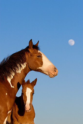 HOR 01 KH0057 01 © Kimball Stock Close-Up Of Bay Pinto Mustang Mare And Foal Standing With Blue Sky And Moon