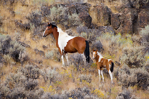 HOR 01 KH0058 01 © Kimball Stock Bay Pinto Mustang Mare And Foal Standing In Field