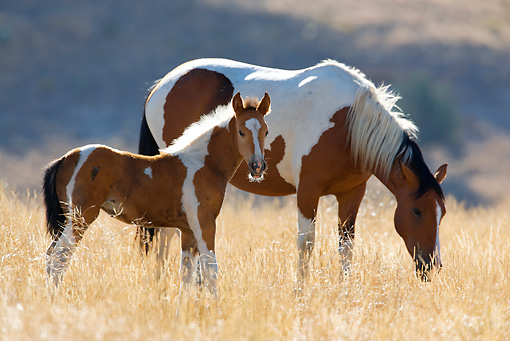 HOR 01 KH0059 01 © Kimball Stock Bay Pinto Mustang Mare And Foal Standing In Field