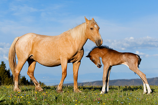 HOR 01 KH0061 01 © Kimball Stock Palomino Mustang Mare And Dun Foal Standing In Field