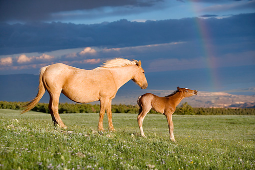 HOR 01 KH0062 01 © Kimball Stock Palomino Mustang Mare And Dun Foal Standing In Field With Rainbow