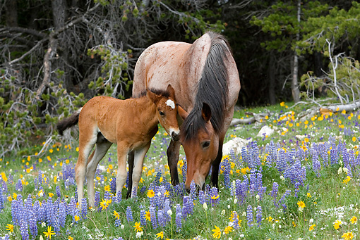 HOR 01 KH0063 01 © Kimball Stock Roan Mustang Mare And Bay Foal Standing In Field Of Yellow And Purple Wildflowers