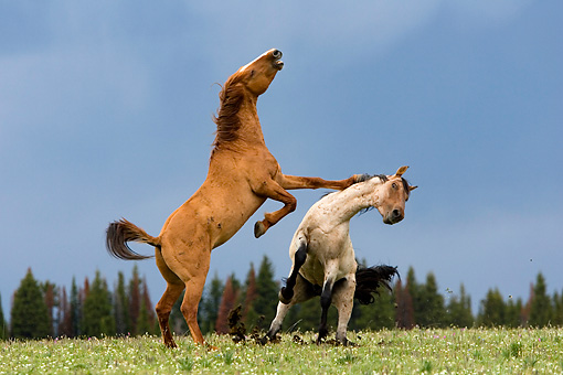 HOR 01 KH0067 01 © Kimball Stock Red Dun And Roan Mustangs Fighting In Field