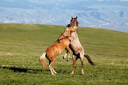 HOR 01 KH0068 01 © Kimball Stock Palomino And Roan Mustangs Fighting In Field