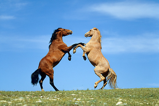 HOR 01 KH0069 01 © Kimball Stock Bay And Roan Mustangs Fighting In Field