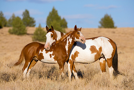 HOR 01 KH0073 01 © Kimball Stock Bay And Chestnut Pinto Mustang Mare And Foal Standing In Field