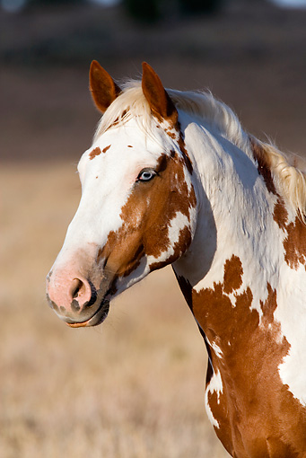 HOR 01 KH0075 01 © Kimball Stock Head Shot Of Chestnut Pinto Mustang Standing In Field