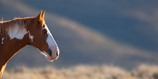 HOR 01 KH0076 01 © Kimball Stock Head Shot Of Chestnut Pinto Mustang Standing In Field