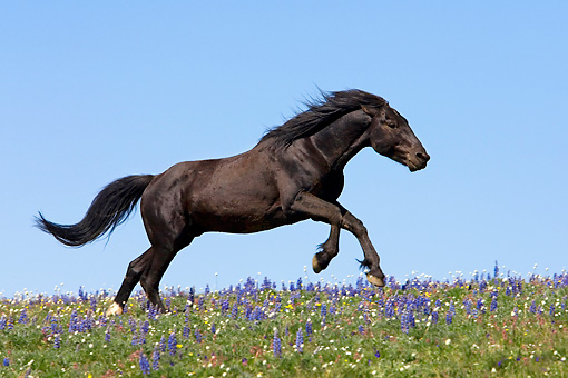 HOR 01 KH0085 01 © Kimball Stock Black Mustang Galloping In Field Of Purple Wildflowers