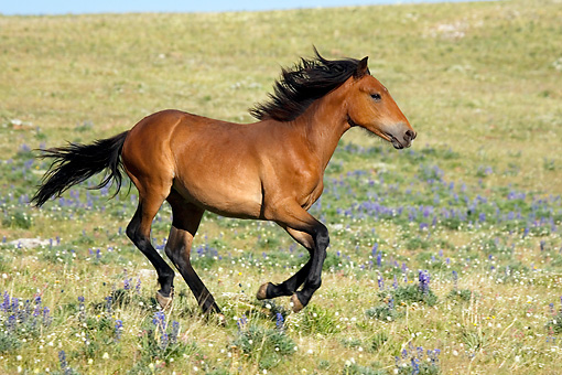 HOR 01 KH0086 01 © Kimball Stock Bay Mustang Yearling Cantering In Field Of Purple Wildflowers