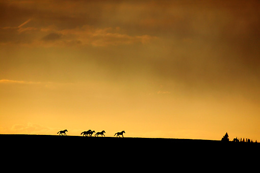 HOR 01 KH0098 01 © Kimball Stock Silhouette Of Herd Of Mustangs Galloping In Field At Sunset