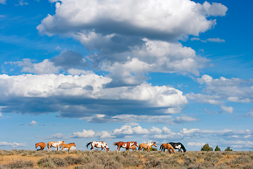 HOR 01 KH0100 01 © Kimball Stock Herd Of Mustangs Standing In Field Grazing