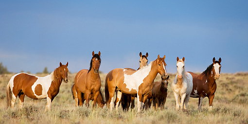 HOR 01 KH0102 01 © Kimball Stock Herd Of Mustangs Standing In Field