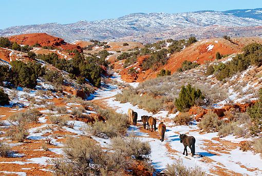 HOR 01 KH0107 01 © Kimball Stock Herd Of Mustangs Walking In Snowy Valley