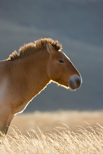 HOR 01 KH0110 01 © Kimball Stock Head Shot Of Przewalski's Horse Standing In Field Mongolia