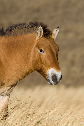 HOR 01 KH0111 01 © Kimball Stock Head Shot Of Przewalski's Horse Standing In Field Mongolia