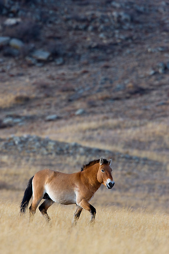 HOR 01 KH0123 01 © Kimball Stock Przewalski's Horse Walking In Field Mongolia