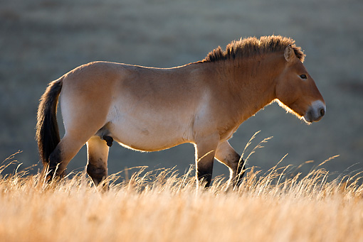 HOR 01 KH0125 01 © Kimball Stock Przewalski's Horse Walking In Field Mongolia