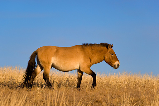 HOR 01 KH0126 01 © Kimball Stock Przewalski's Horse Walking In Field Mongolia