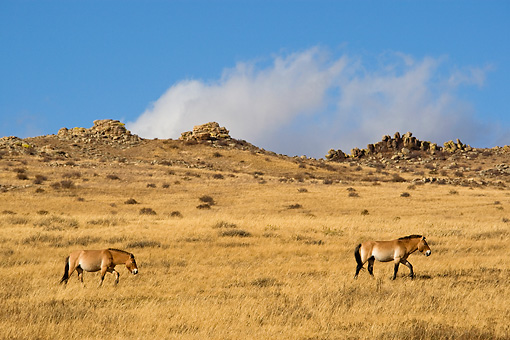 HOR 01 KH0127 01 © Kimball Stock Two Przewalski's Horses Walking In Field Mongolia