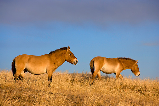 HOR 01 KH0128 01 © Kimball Stock Two Przewalski's Horses Standing In Field Mongolia