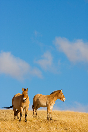 HOR 01 KH0130 01 © Kimball Stock Two Przewalski's Horses Standing In Field Mongolia