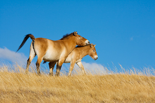 HOR 01 KH0131 01 © Kimball Stock Przewalski's Horse Mare And Foal Standing In Field Mongolia