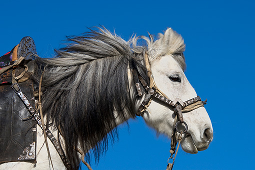 HOR 01 KH0134 01 © Kimball Stock Head Shot Of Grey Kazakh Horse Mongolia