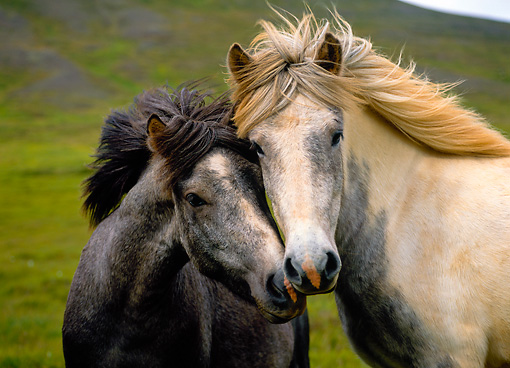 HOR 01 KH0139 01 © Kimball Stock Head Shot Of Two Icelandic Horses Standing In Field
