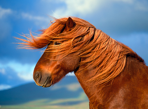 HOR 01 KH0140 01 © Kimball Stock Head Shot Of Chestnut Icelandic Horse