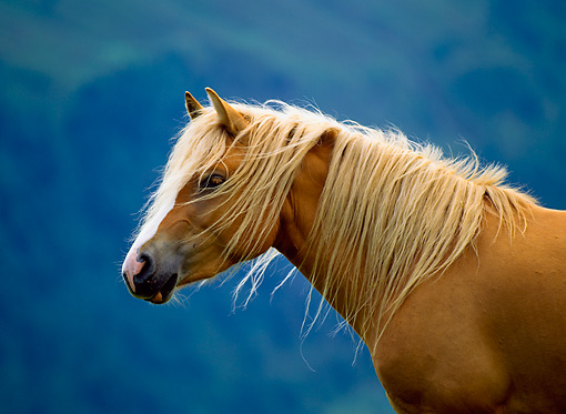 HOR 01 KH0141 01 © Kimball Stock Head Shot Of Haflinger Horse