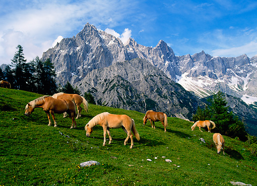 HOR 01 KH0142 01 © Kimball Stock Herd Of Haflinger Horses Grazing By Mountains