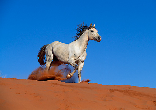 HOR 01 KH0144 01 © Kimball Stock Gray Arabian Horse Trotting On Sand Dune