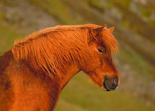 HOR 01 KH0145 01 © Kimball Stock Head Shot Of Chestnut Icelandic Horse