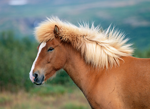 HOR 01 KH0146 01 © Kimball Stock Head Shot Of Chestnut Icelandic Horse