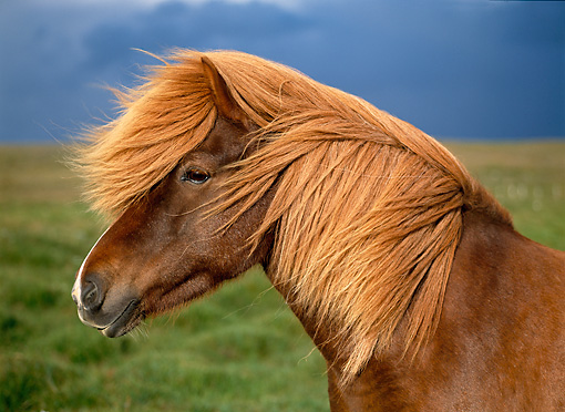 HOR 01 KH0147 01 © Kimball Stock Head Shot Of Chestnut Icelandic Horse