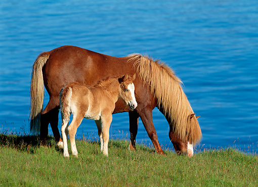 HOR 01 KH0151 01 © Kimball Stock Icelandic Horse Mare And Foal Grazing By Water