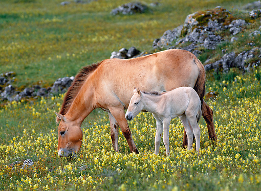 HOR 01 KH0153 01 © Kimball Stock Przewalski's Horse Mare And Foal Grazing In Field