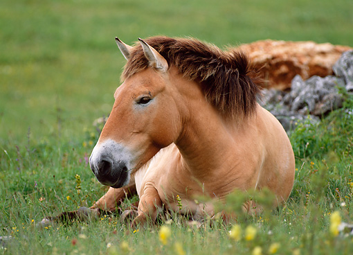 HOR 01 KH0154 01 © Kimball Stock Przewalski's Horse Laying In Field