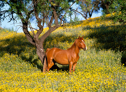 HOR 01 KH0156 01 © Kimball Stock Andalusian Arabian Horse Standing In Field Of Yellow Flowers
