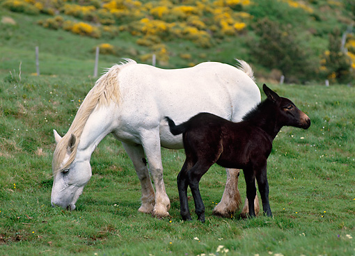 HOR 01 KH0159 01 © Kimball Stock Mulassier Horse Mare And Mule Foal Standing In Pasture
